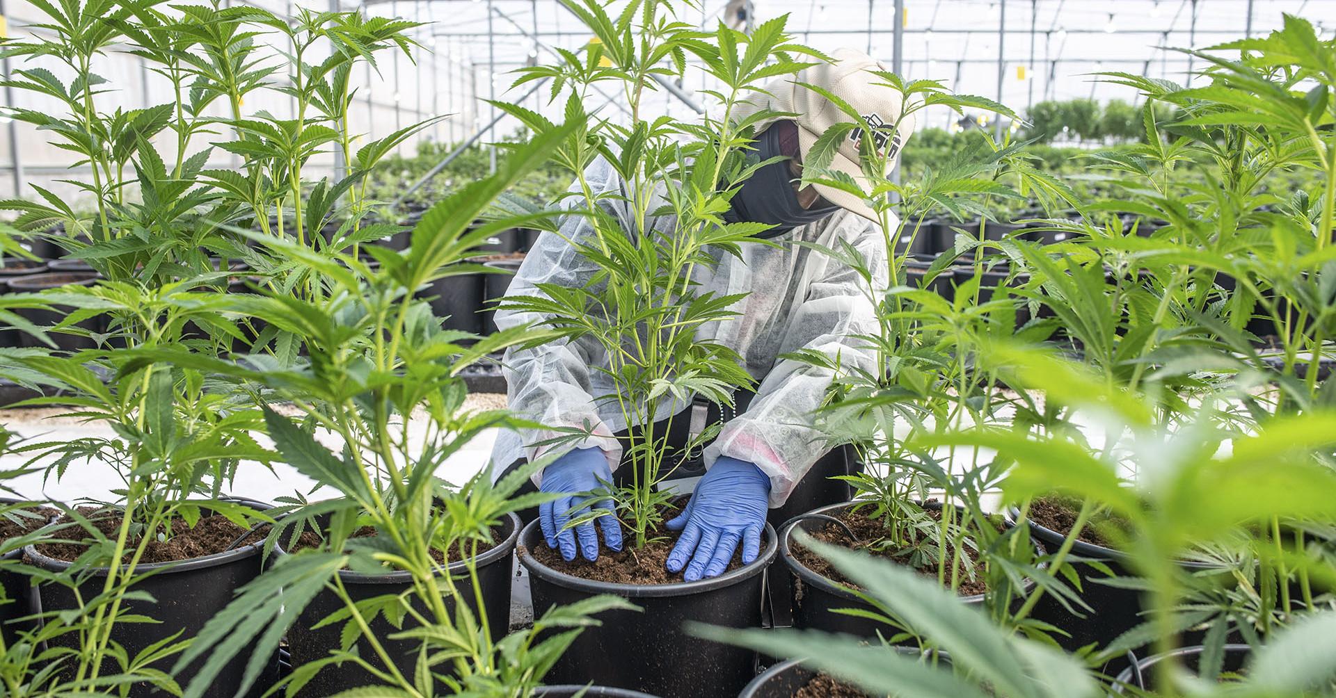 Új-Mexikóban legális lett a marihuána